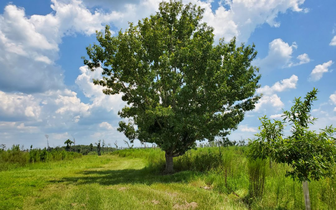 Sawtooth Oak:  A Good, but not Perfect Tree for Landowners and Wildlife Managers