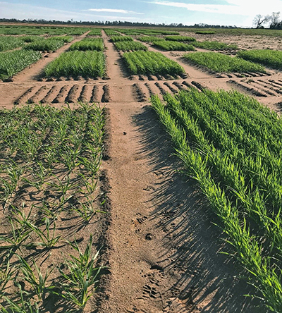 Seeding Rate Affects Performance of Oats and Black Oats in North Florida