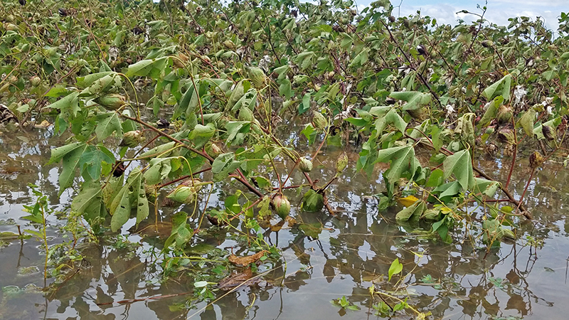 Hurricane Sally Caused Major Damage to Escambia County Crop Fields