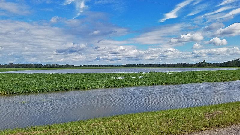 flooded peanut field