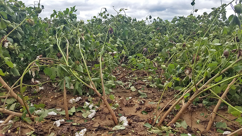wind and rain damaged cotton plants from ground