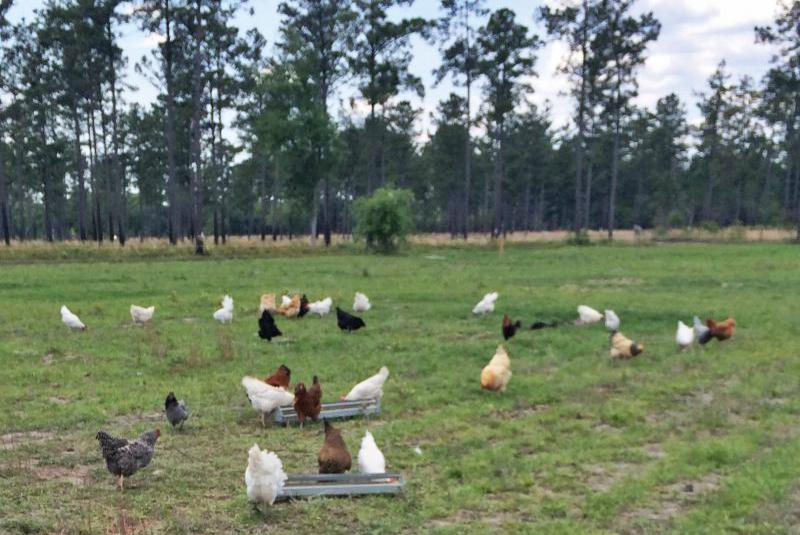 pasture poultry farm