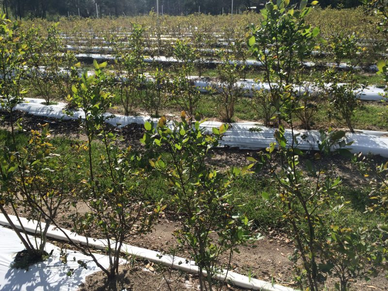 During the 13th Annual Farm Tour, stop by Jubilee Orchards, a 210 acre plantation with fifty acres of organic blueberry bushes. Photo by Molly Jameson.