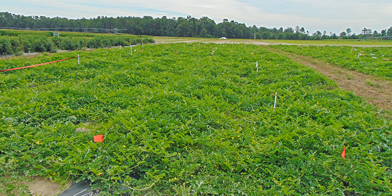 Using Scouting and Diagnostic Confirmation to Improve Watermelon Spray Programs in North Florida