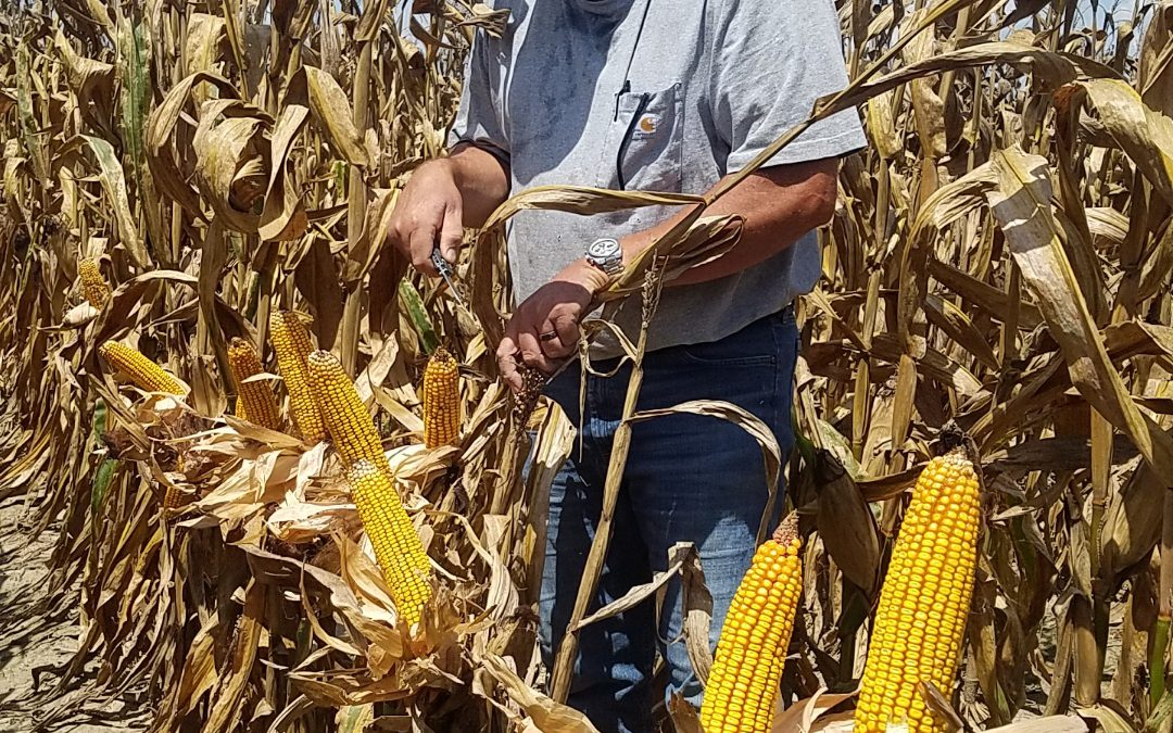 Corn Season is Wrapping Up with Better Yields than Expected in the Western Panhandle