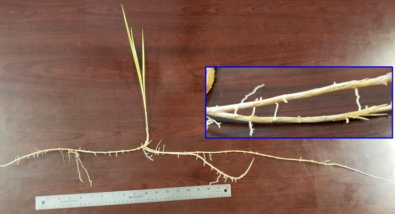 Cogongrass rhizomes