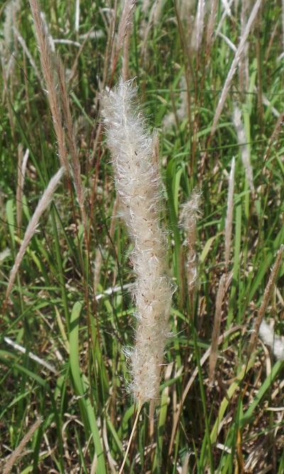 Cogongrass seedhead