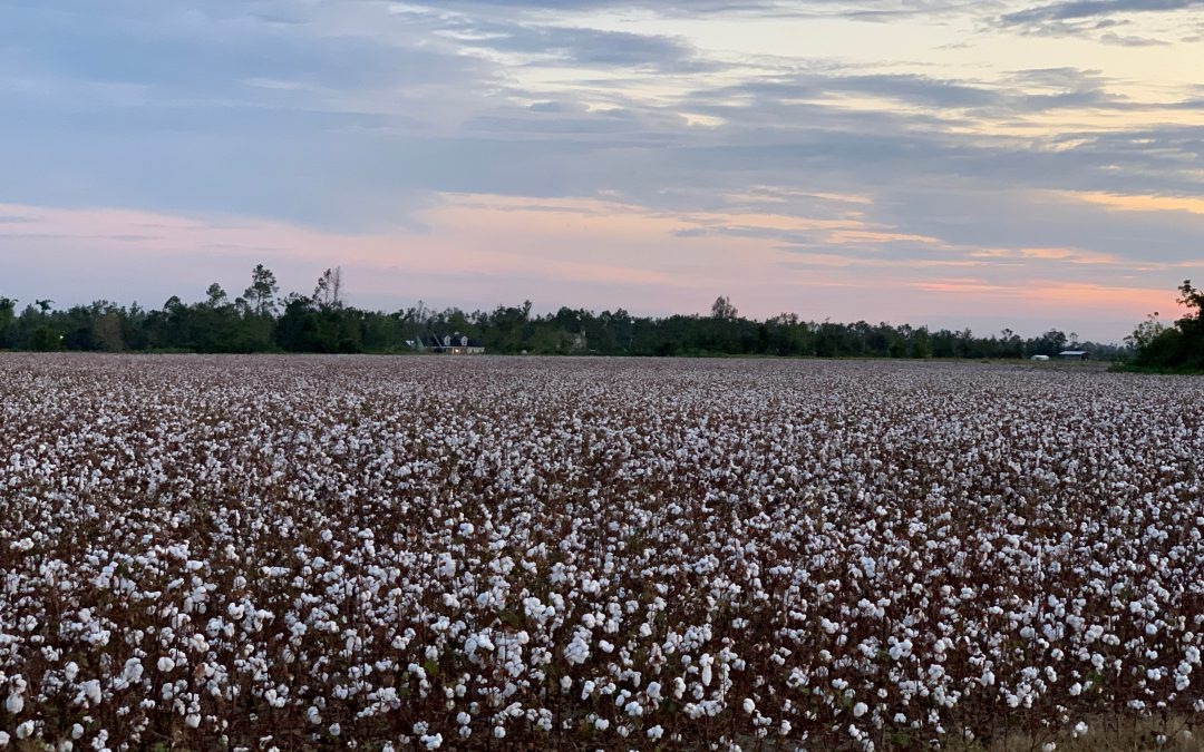 Panhandle Cotton: An Important Crop for a Sustainable Future