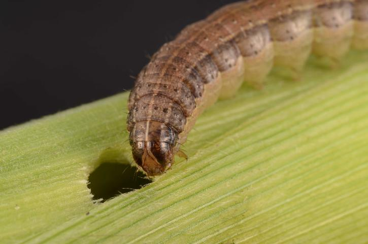 Armyworms – An Annual Challenge for Pastures and Hay Fields