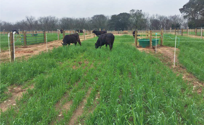 Protect Against Nitrate Losses from Your Fields with Winter Grazing