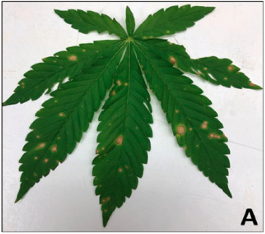 Industrial Hemp Diseases in Florida: What We Know So Far