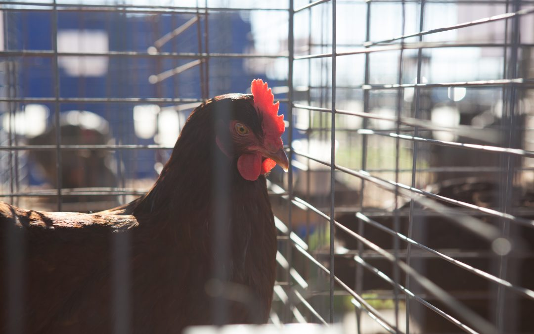 Enroll Your Flock in the USDA/APHIS National Poultry Improvement Plan