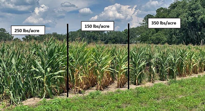 Upcoming Suwannee Valley Corn Field Days –  July 6, 13, & 27