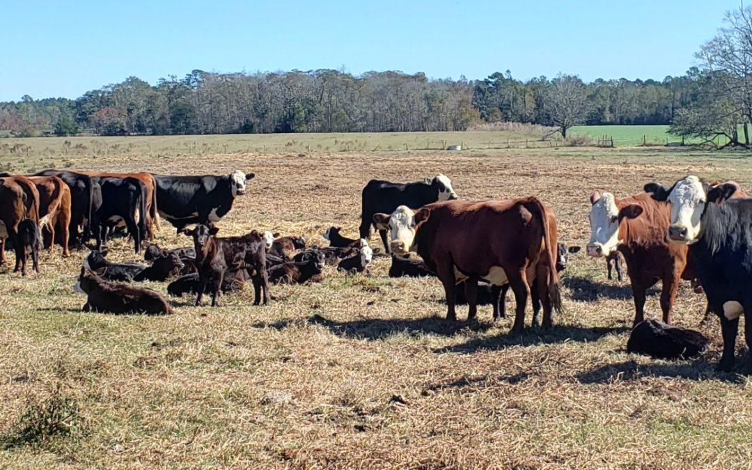 Consider Genetic Merit When Selecting Bulls – It's Worth It