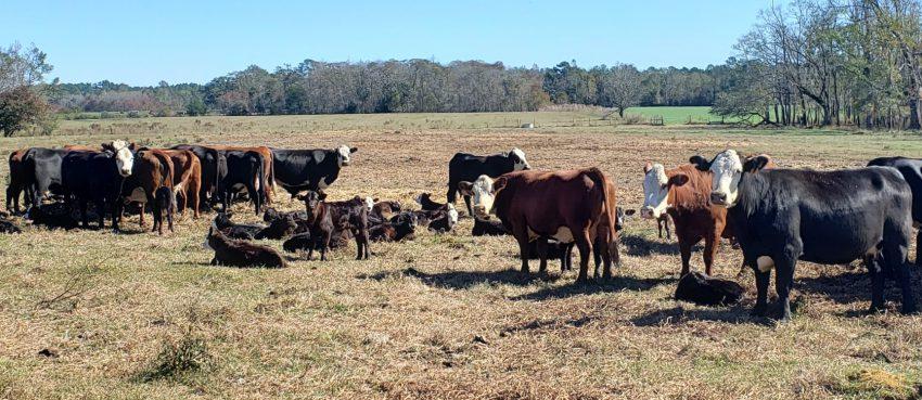 Cows and calves