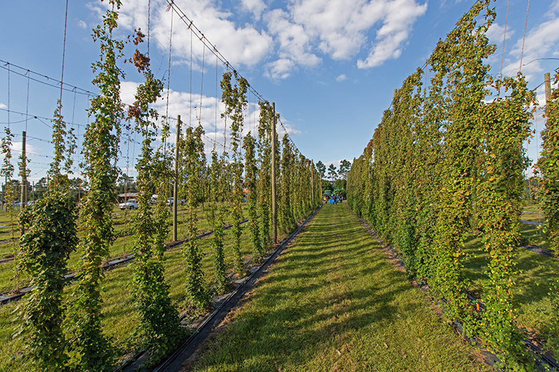 Friday Feature:  UF/IFAS Conducting Research on Florida Grown Hops