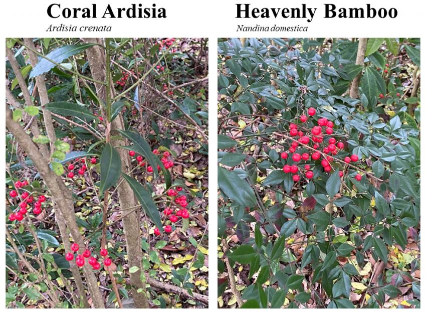 Coral Ardisia & Heavenly Bamboo