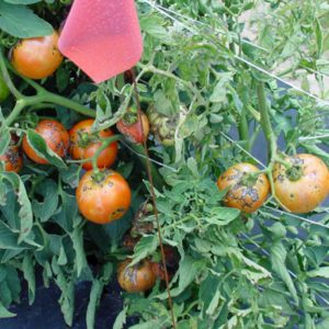 Tomato spotted wilt affects tomatoes, and numerous other vegetables, ornamentals, field crops and weeds. The disease can cause significant yield losses of tomato.