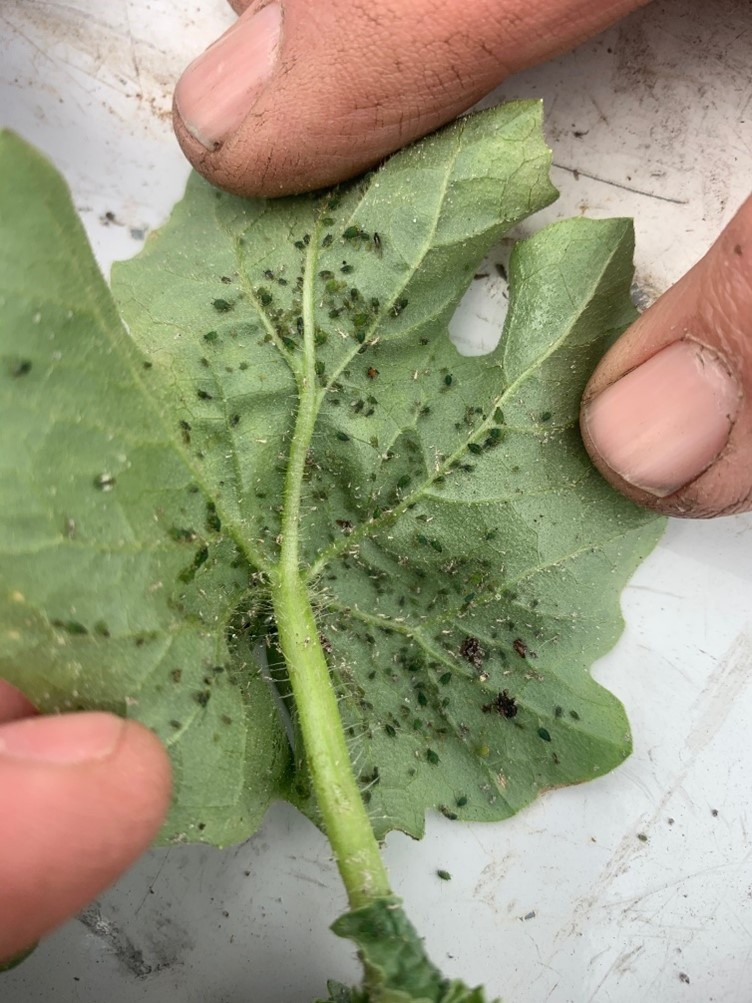 Aphids on Watermelon Leaf