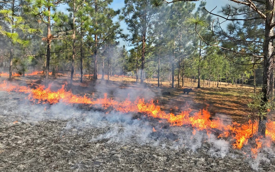 Fire Management in a Silvopasture System