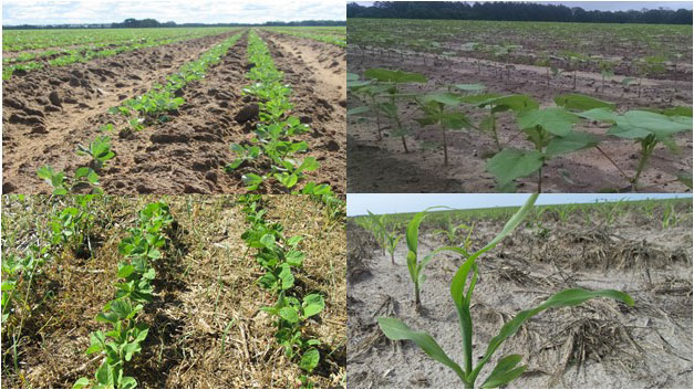 Composite image of young peanut, cotton, corn, and soybean after emergence.