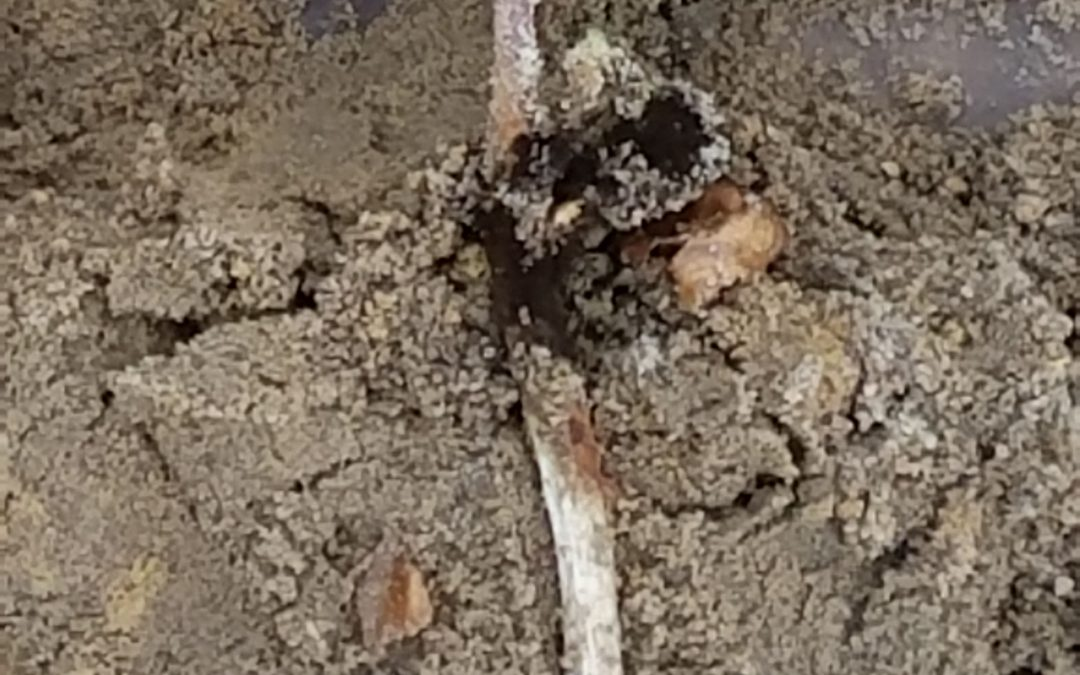 Velum Given Clearance for Use on Aspergillus Crown Rot in Peanut