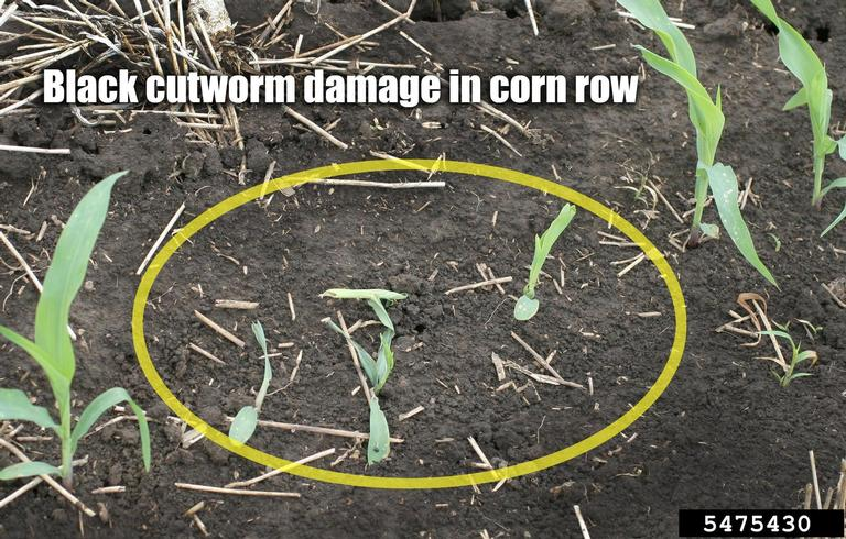Cutworm damage in young corn.