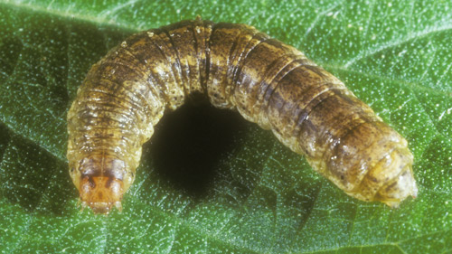 Granulate cutworm larva