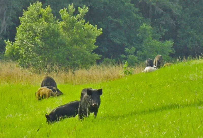 Hope for the Wild Hog Problem in Florida