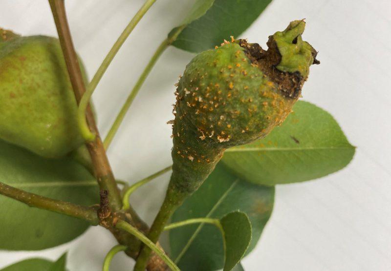 Cedar apple rust on a young pear.