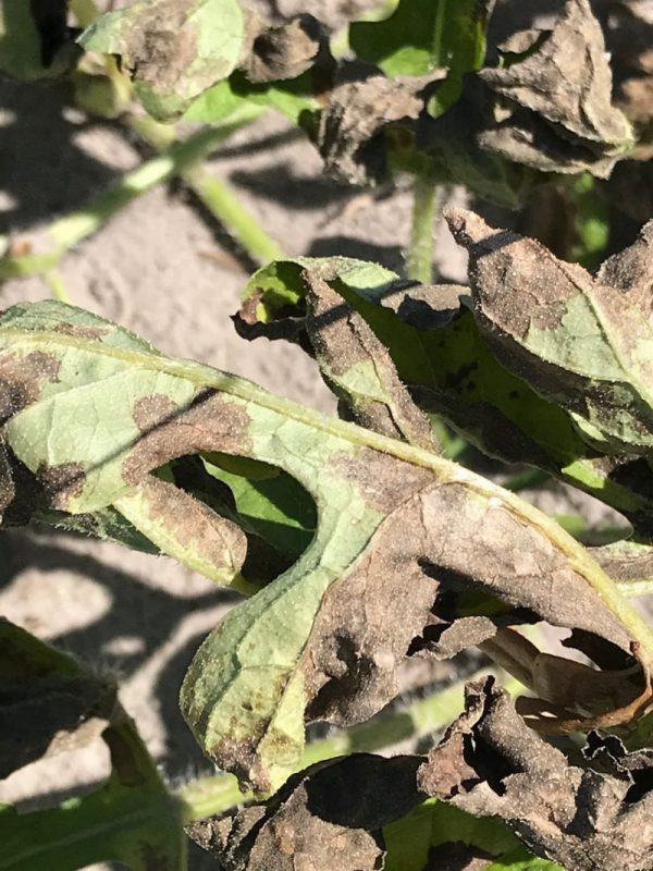 Later Stages of Downy Mildew in Watermelon