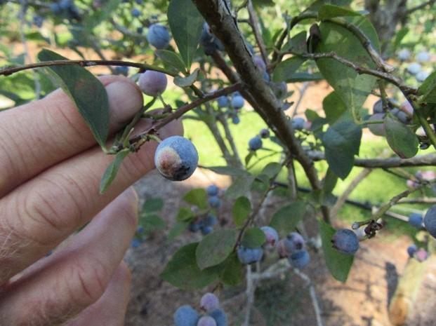 What are the White Spots on my Blueberries?  Exobasidium Fruit Spot