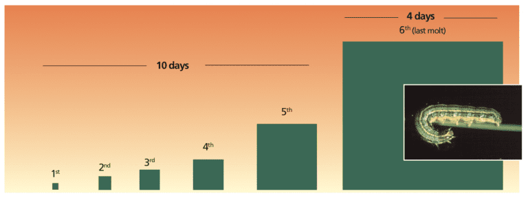 Armyworm Growth stage chart