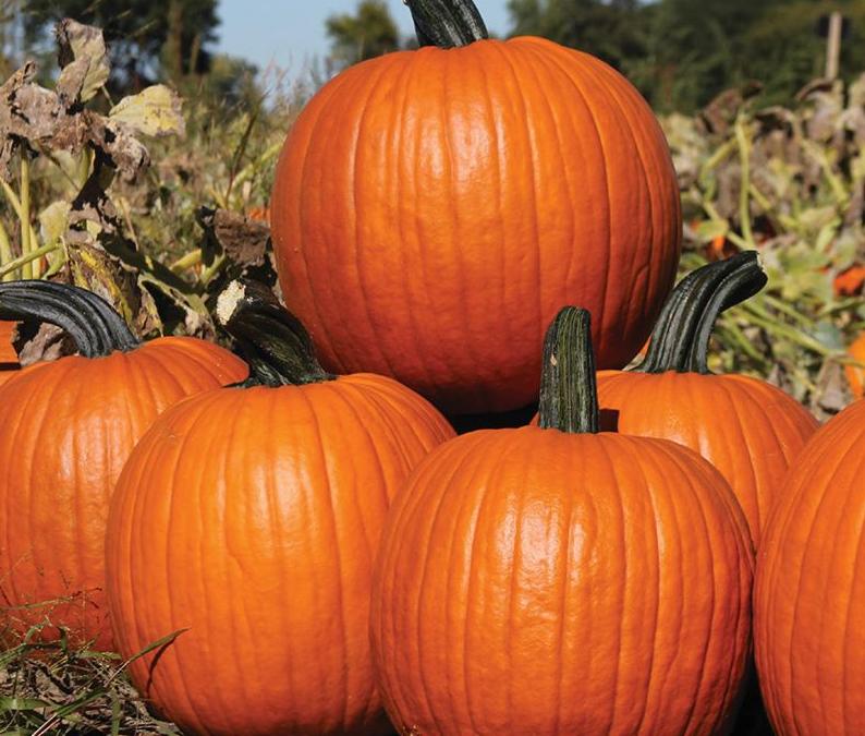 Pumpkin Production in North Florida