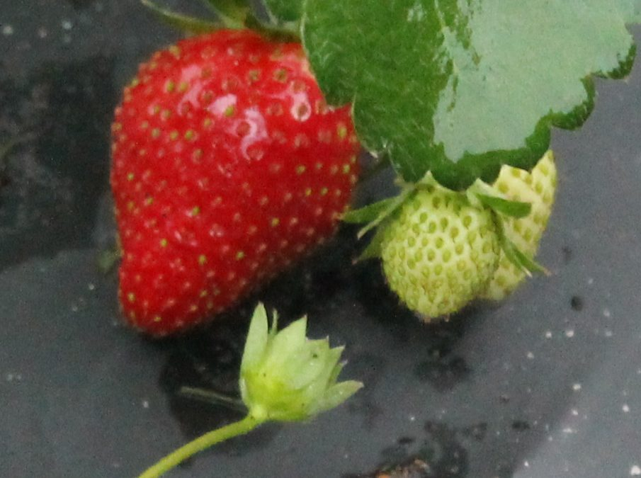 Consider Strawberry Production this Fall