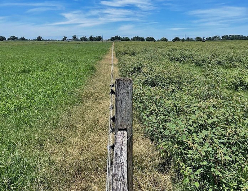 How Weed Infestations in Pastures affect Cattle Performance?