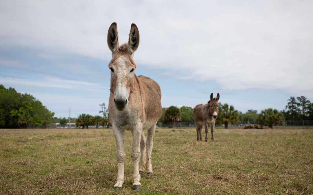Caring for Long-eared Equine: Feeding and Nutritional Management of Donkeys