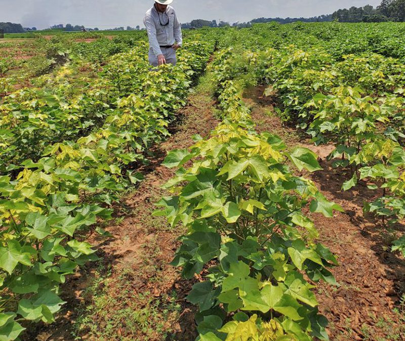 Abundant Rainfall led to Cotton Sulfur Deficiency in Low Areas
