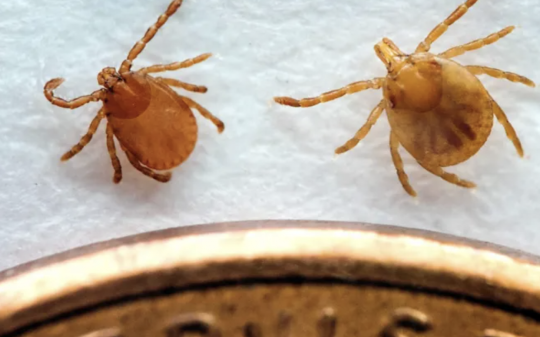Asian Longhorned Tick found on North Georgia Cow