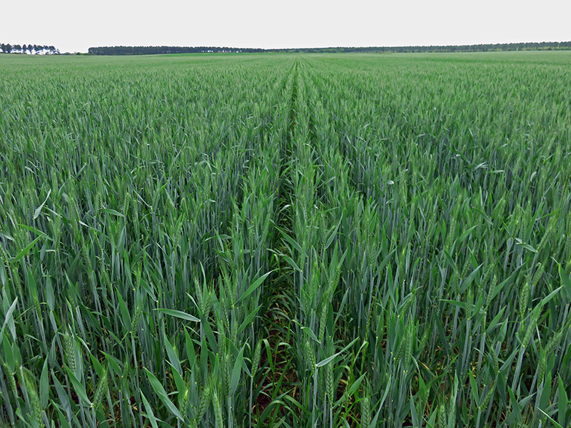 UGA's 10 Recommendations for Successful Wheat Production