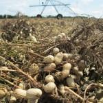 Peanut Harvest is Just Beginning