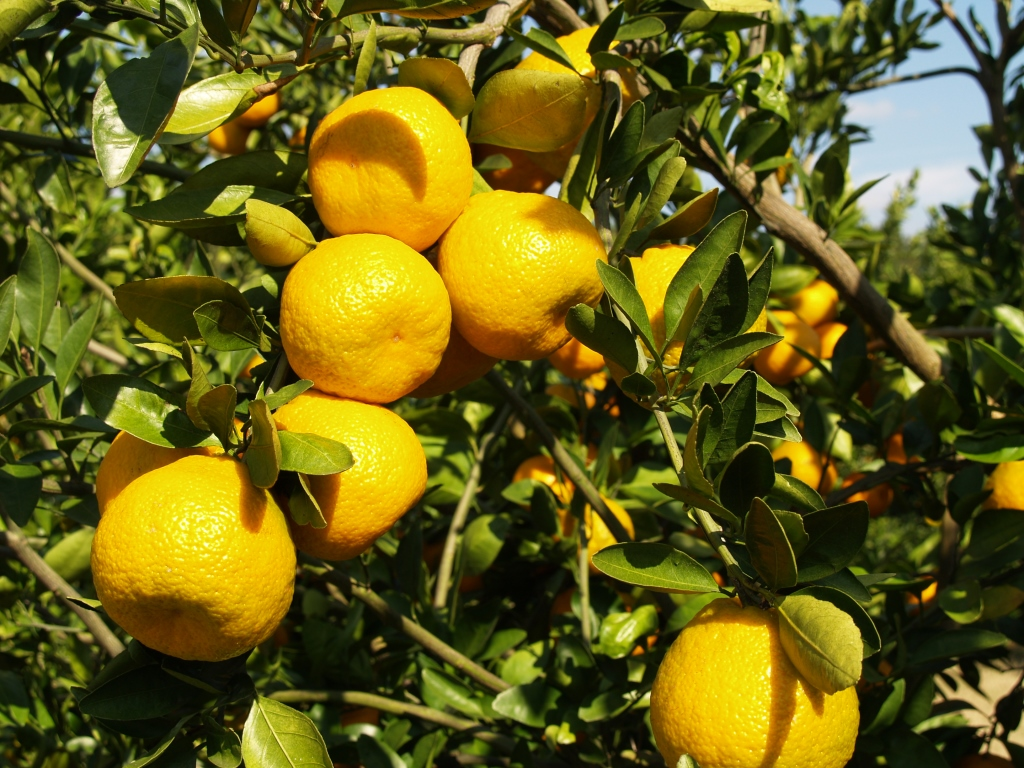 A citrus variety trial was established in 2011 at the North Florida Research and Education Center to evaluate their potential for Northwest Florida.  Photo Credit:Doug Mayo