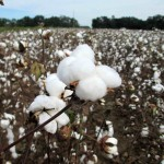 Cotton Harvest Begins as Tropical Storm Approaches