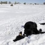 South Dakota Blizzard Devastates Ranchers