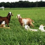 Factors for Successfully Wintering Your Meat Goats