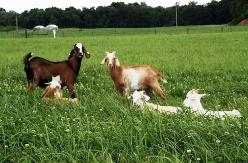 There are important factors to consider to successfully overwinter your goat herd.