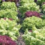 WFREC Fall Vegetable Field Day December 13