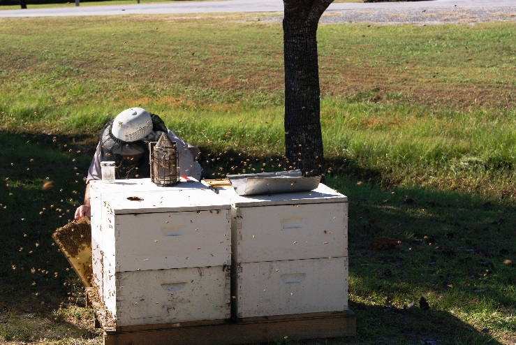 Bee inspector Tending Hive Splitting Demonstrations - Image Credit Matthew Orwat UF IFAS Extension