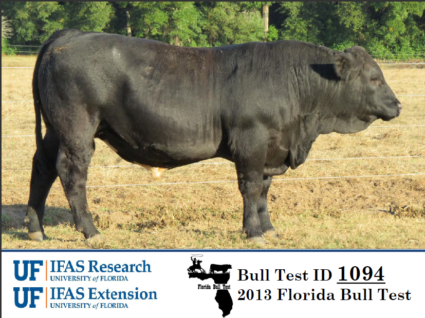 L& L Cattle Company, Marianna, consigned the top performing bull in the 2013 Florida Bull Test.   Their Simmental bull, LLCC Big Jake Z211, gained 5.31 pounds per day on the 112 day test.