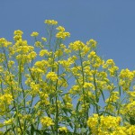 Ethiopian Mustard a New Crop for the Panhandle